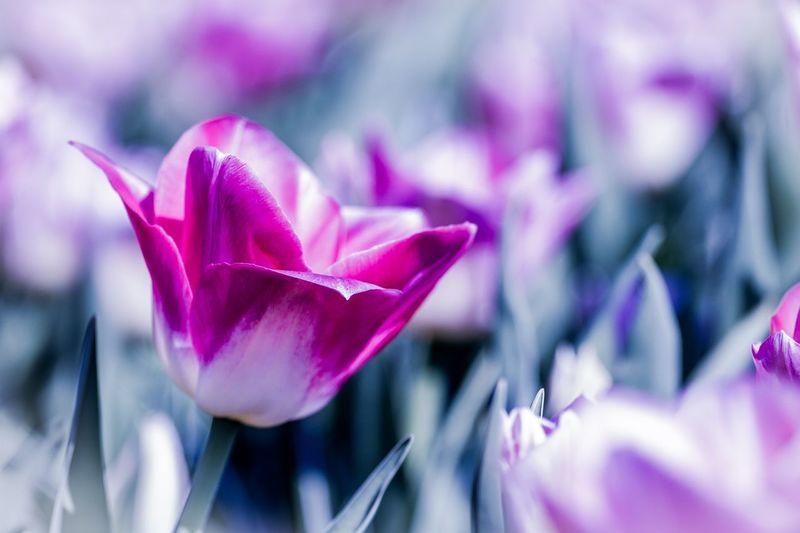 Tulip Keukenhof