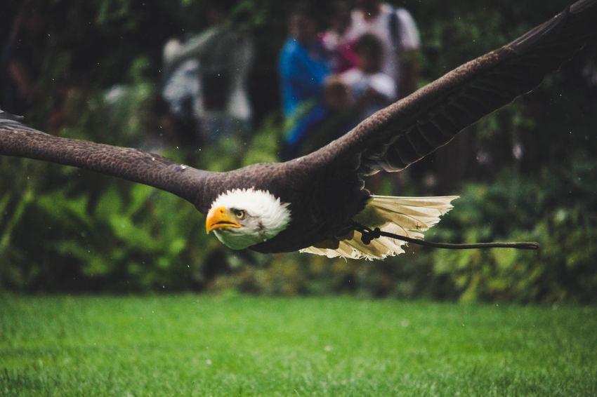 Eagle Planckendael Zoo Animal Animals Bald Eagle Bird Eagle - Bird Flying Mid-air Nature One Animal Spread Wings