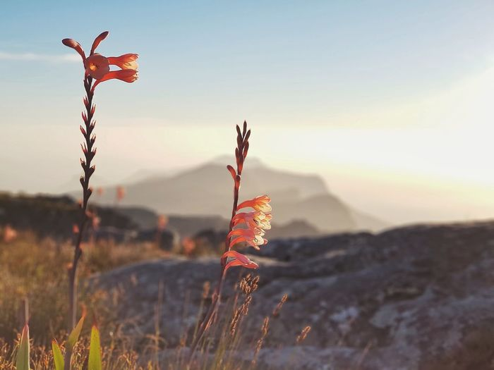 Close-up of red flowering plant on land against sky during sunset