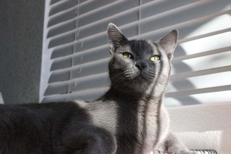 Russian blue cat lying against window blinds at home