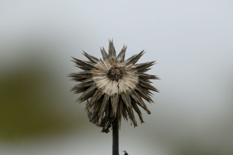 Close-up of wilted dandelion against sky