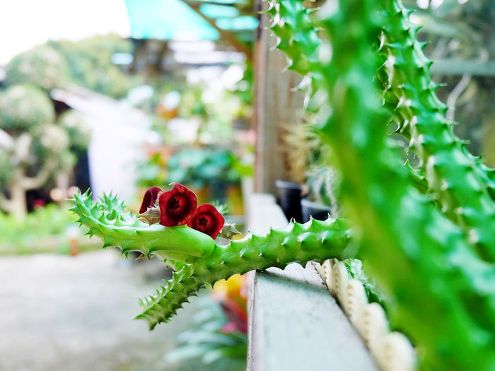Huernia schneideriana have three red flowers, succulent on pot, cactus, cacti, cactaceae, tree. Drought tolerant plant. Beautiful Cactus Desert Drought Green Growth Hot Natural Nature Plant Tolerant Tree Decoration Flora Garden Hipster Huernia Schneideriana Leaf Minimal Pot Red Flower Succulent Summer Thorn Tropical