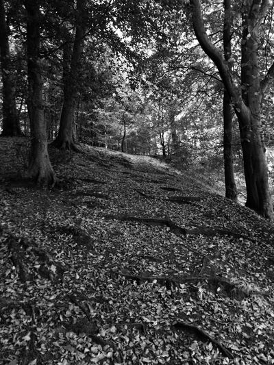 Blackandwhite Photography Black & White Black And White Blackandwhite Tree Nature Forest Tranquility Tree Trunk Autumn Tranquil Scene Beauty In Nature Outdoors Scenics Day Leaf No People Branch Growth