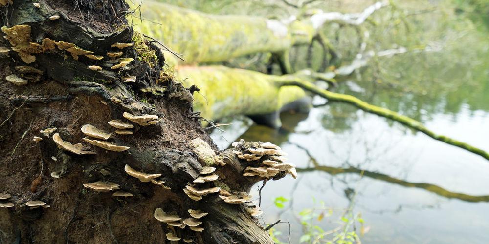 Tree fungis