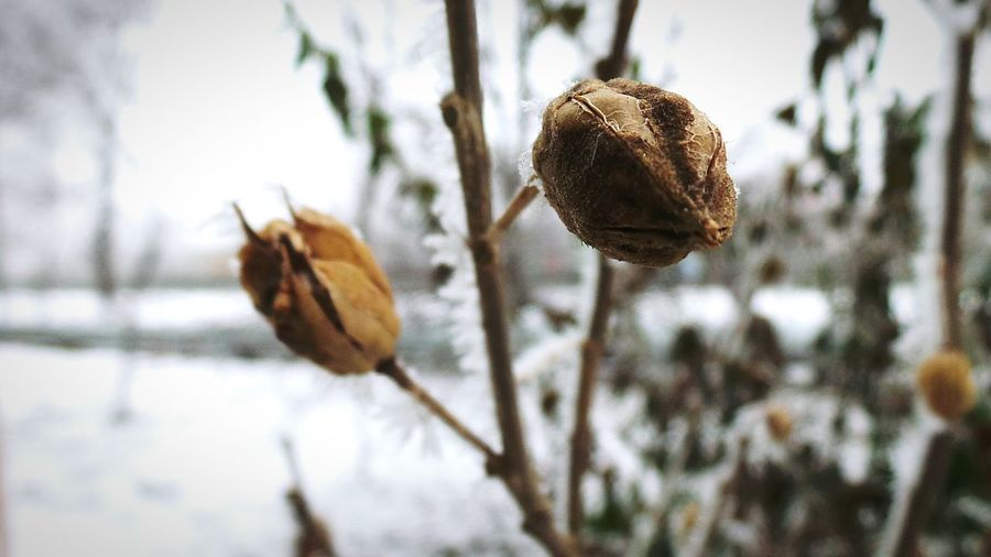 Nature Winter Growth Plant Focus On Foreground Outdoors Snow No People Cold Temperature Close-up Day Fragility Beauty In Nature Leaf Flowers,Plants & Garden Frost Full Frame Backgrounds Macro_collection Macro Beauty Frosty Mornings Seed Pod Dried Flowers Dried Plant Frozen