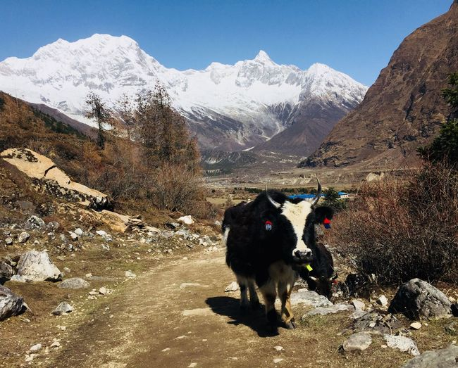 Nepal Himalayas Manaslutrek EyeEm Selects Mountain Animal Themes Domestic Animals Animal Mammal Domestic Snow Cold Temperature Mountain Range Environment Winter Livestock Beauty In Nature Cattle Landscape Sky Nature Vertebrate Scenics - Nature