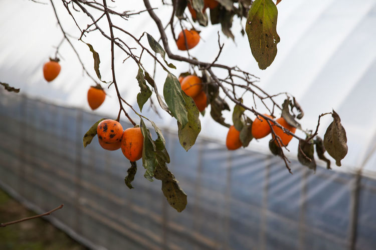 Low angle view of persimmons growing on tree by greenhouse