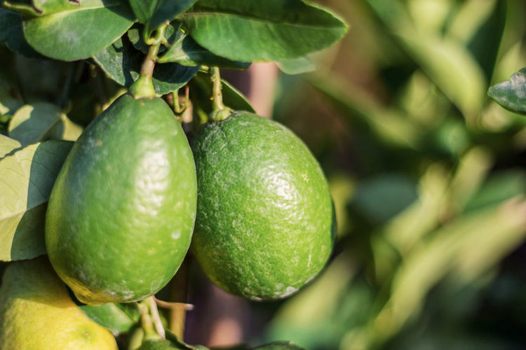 Branch Citrus Fruit Close-up Day Food Food And Drink Freshness Fruit Green Color Growth Healthy Eating Leaf Nature No People Outdoors Tree Unripe