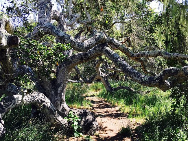 Tree Tree Trunk Forest Tranquility Tranquil Scene Non-urban Scene Nature Branch Scenics Travel Destinations Beauty In Nature The Way Forward Tourism Growth Green Color Water Narrow WoodLand Stream Footpath Los Osos, Ca Pygmy Oak Trees Fresh On Eyeem