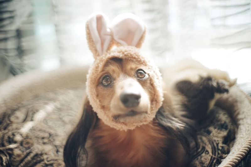 Portrait Of Dog Wearing Costume Rabbit Ears At Home