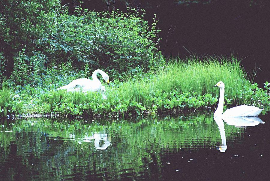 Swanlake Swan Swan Lake Lake