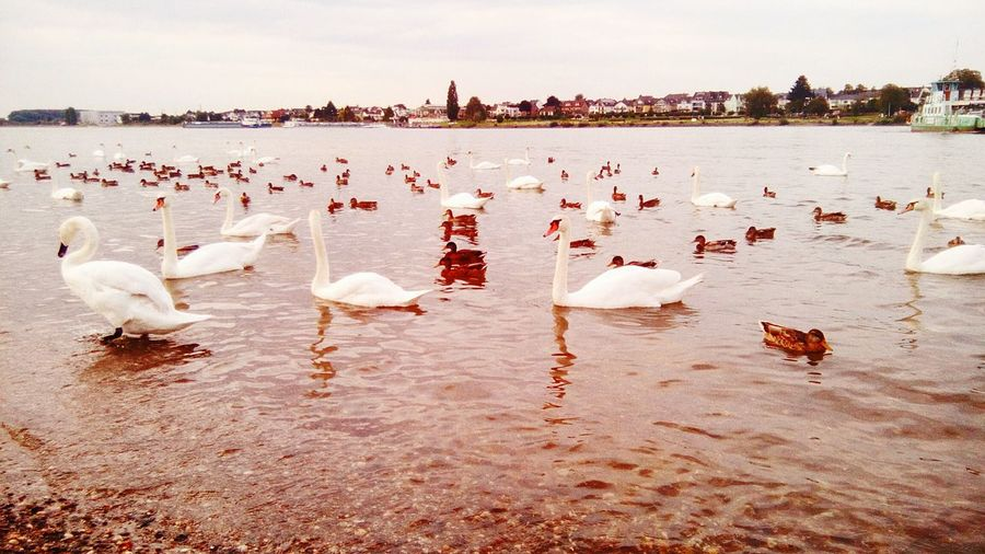 some ducks and swans chilling on the rhine Day Duck Swan Goose Water Mondorf Rhine River Wildlife Animals Peace Freedom EyeEm Selects