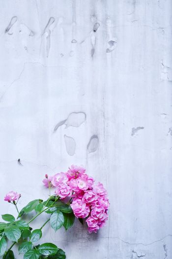 Flowering Plant Flower Plant Pink Color Freshness Nature Wall - Building Feature No People Fragility Creativity Day Outdoors White Color Beauty In Nature Vulnerability  Close-up Growth Pattern Flower Head Art And Craft