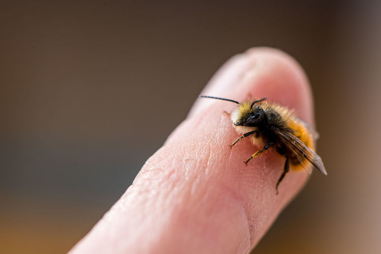 Extreme Close-Up Of Bee On Human Finger