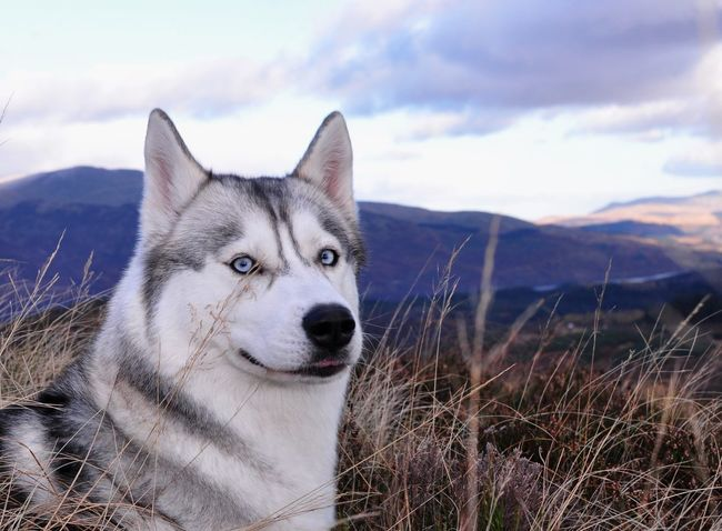 syberian husky wolf dog blue eyes at mountains Blue Eyes Animal Themes Beauty In Nature Close-up Day Dog Domestic Animals Field Focus On Foreground Grass Husky Mammal Mountain Nature No People One Animal Outdoors Pets Portrait Siberian Siberian Husky Sky Sled Dog Snow Syberianhuskey