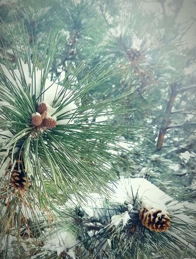 EyeEm Best Shots Eyeem Photography EyeEm Nature Lover Outdoors Family Tree Winter No People Close-up Branch Beauty In Nature Snowblanket Pinecones Looking Up Having Fun In The Snow Snow On The Evergreens EyeEm Gallery Taking Photographs Colorado Springs CO USA