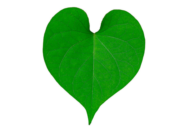 The heart-shaped leaves Beauty In Nature Close-up Cut Out Day Freshness Green Color Leaf Nature No People Studio Shot White Background