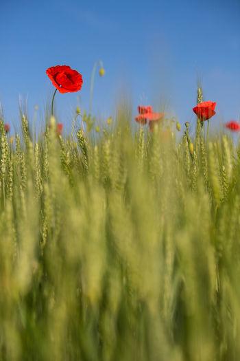 Red flowers blooming on field against sky