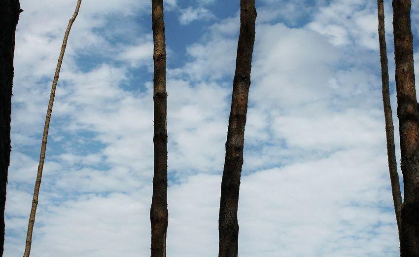 Ukraine Trees Pine Trees Nature Landscape Photo Canon Sky