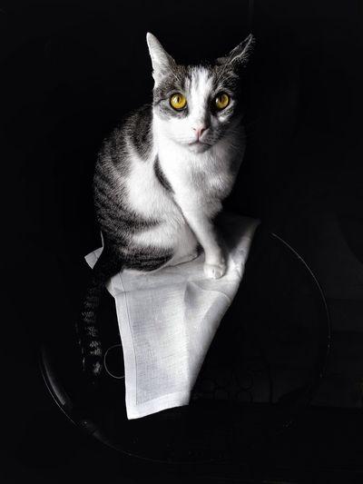 Pet Portraits Cat Cats Katzen Cats Of EyeEm Cat Photography Pets