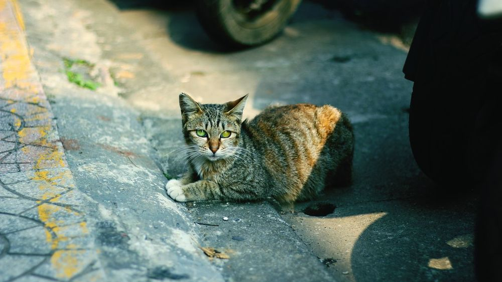 Domestic Cat Pets Domestic Animals No People Outdoors Sitting Looking At Camera Different Eye Color