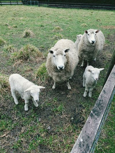 Sheep Baa Baa