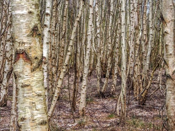 Birken Backgrounds Birch Birches Birken Close-up Day Full Frame Nature No People Outdoors Textured  Tree Tree Trunk Wood - Material