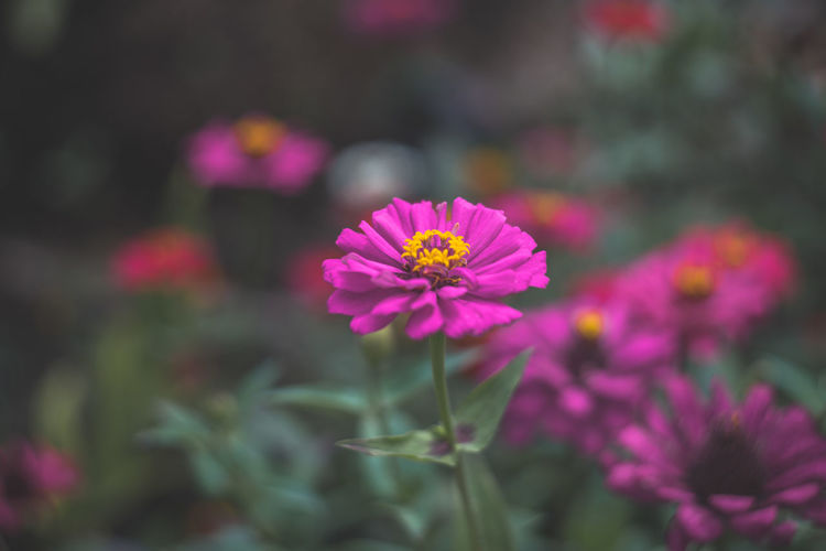 Flower Pink Color Purple Fragility Petal Flower Head Nature Outdoors No People Beauty In Nature Freshness Day Plant Zinnia  Close-up Eastern Purple Coneflower EyeEmNewHere Perspectives On Nature