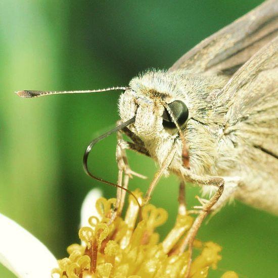 Breakfast. Kupukupu Butterfly Instaflower Insect insects insectagram ig_great_pics_flowers ig_closeups ig_bestshots ig_butterfly bestofmacros macros macroworld_tr macro_secrets macro_spotlight macroclique instagaruda_macro va_macro macro_x