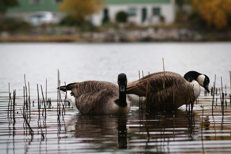Close-up of canada geese swimming in lake