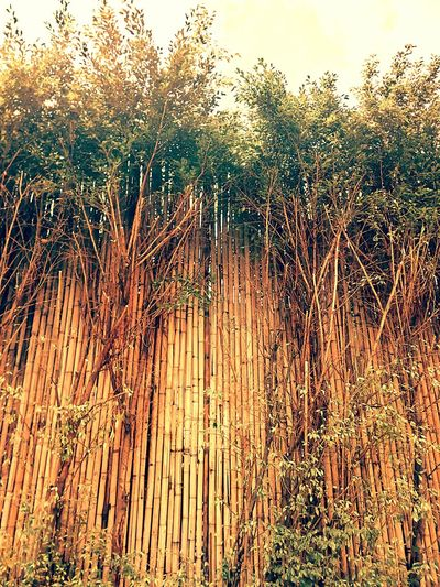 Wall Bamboo Wall Nature Wall Tree Wall Wall And Nature Wall And Tree Wall Photography Vintage Vintage Photography ใน Dusit, Thailand