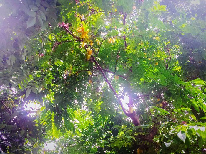 Green House Greenhouse Tropical Greenhouse Star FruitsStarfruit Star Fruit
