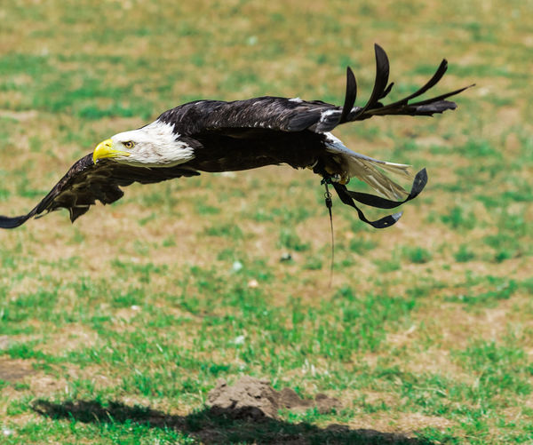 Flying Bird Flying Fly Weißkopfseeadler Bird Photography Birds Of EyeEm  Nikon D750 Ruhrgebiet Ruhrpott Animal Animal Body Part Animal Photography Animal Portrait Animal Themes Animal Wildlife Animalportrait Animals In The Wild Bird Bird Flying Bird Of Prey Bird Portrait Birds_collection Eagle Eagle - Bird Focus On Foreground Nature Outdoors