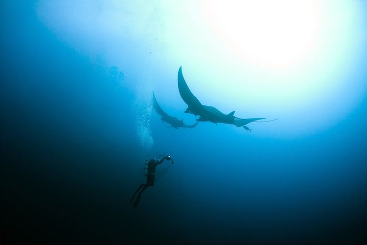 Low Angle View Of Scuba Driver Swimming With Manta Rays In Sea
