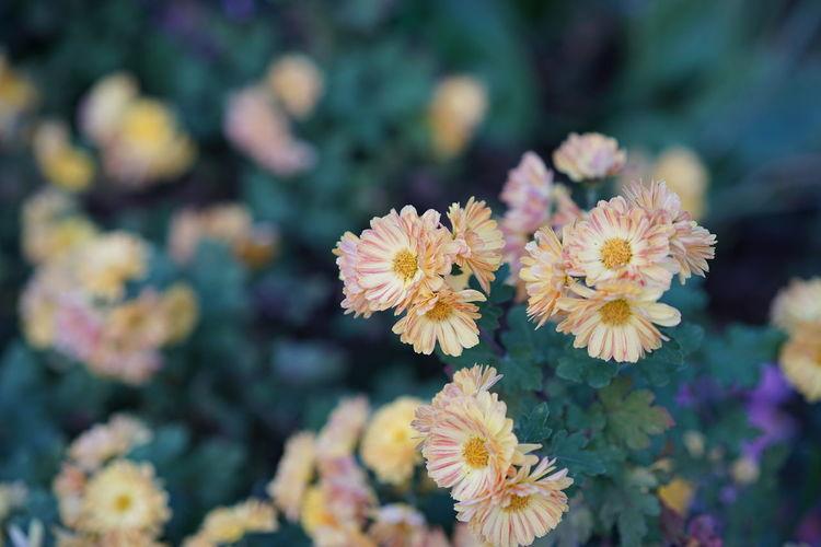 Beauty In Nature Blooming Flower Flower Head In Bloom Nature No People Petal