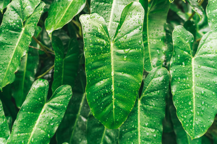 Leaf Plant Part Green Color Growth Plant Close-up Nature No People Water Drop Beauty In Nature Day Wet Leaf Vein Focus On Foreground Freshness Outdoors Full Frame Sunlight Leaves RainDrop