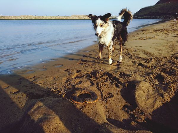EyeEm Selects Dog Sand Beach Pets One Animal Water Animal Animal Themes Domestic Animals Outdoors Mammal Day Nature No People Sea Sky Portrait beach fun in Whitby, United Kingdom