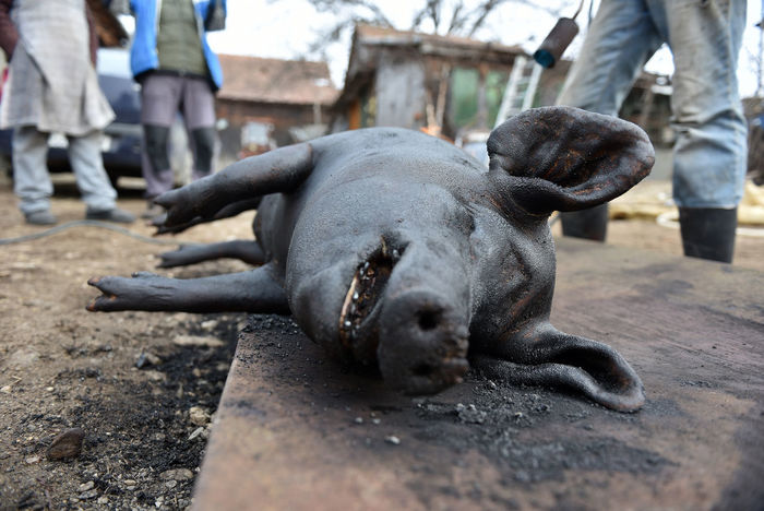 Pig cutting. Slaughter killing the pork. Winter holidays traditional Balkanic food concept Balkan Butcher Eastern Europe Knife Meat! Meat! Meat! Morbid Pork Romania Rural Slaughter Transylvania Blood Butchered Corpse Dead Food Kill Meat Organic Food Pig Pork Belly Slaughter House Slaughter Man Slaughtered Swine