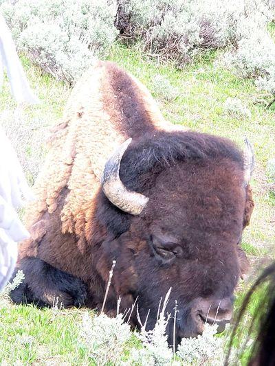 Landscape Bison