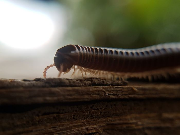 S7 Edge Photography Samsung Galaxy S7 Edge Millipede Millipedes Macro Photography Macro Beauty Macro_secrets Macrolens Macroshot Macro_collection Focus On Foreground Close-up Macro Beauty Nature Beauty In Nature Freshness Outdoors No People Day Nature Diplopoda
