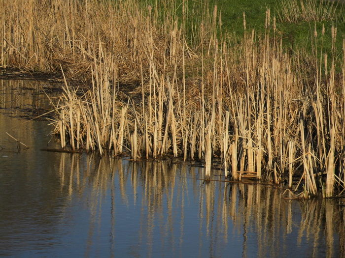 Water Reflection Tranquility Lake No People Nature Waterfront Beauty In Nature Plant Day Growth Tranquil Scene Scenics - Nature Grass Outdoors Reed Reed - Grass Family