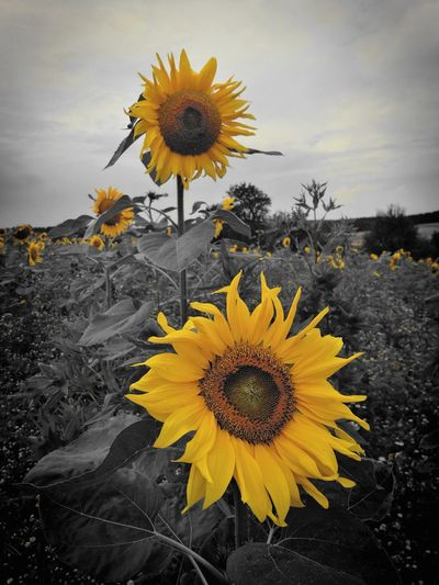 Colour Of Life Huawei Photo Shoot Sonnenblumen Awesome Colour Yellow Macro