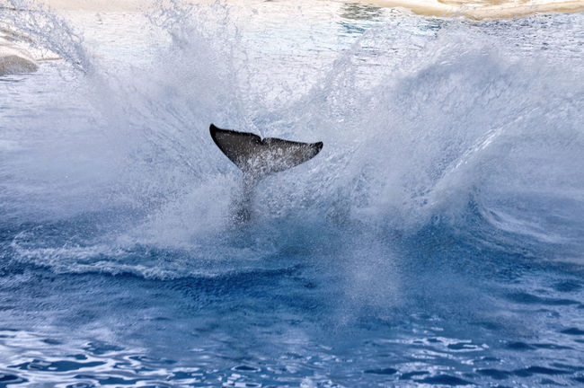 Splashing whale will move to the tail. Animal Fin Animal Themes Animals In The Wild Aquatic Mammal Day Humpback Whale Mammal Motion Nature No People One Animal Outdoors Sea Sea Life Swimming Water Whale
