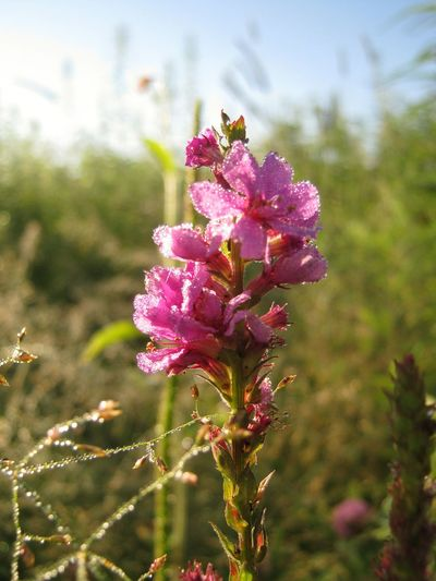 Pink flower in the dew drops Flower Purple Pink Color Plant Nature Focus On Foreground Wildflower Fragility Close-up Uncultivated Flower Head Dew Dew Drops Lythrum Salicaria Freshness Beauty In Nature Summer