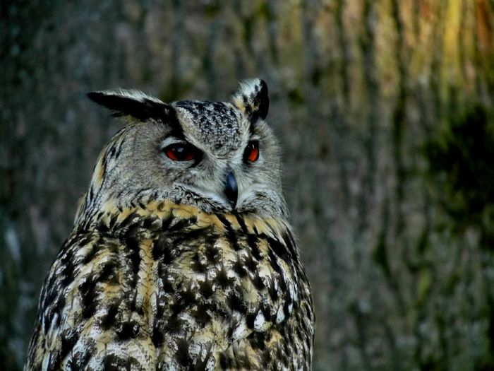 Close-Up Of Eurasian Eagle-Owl Perching Against Tree