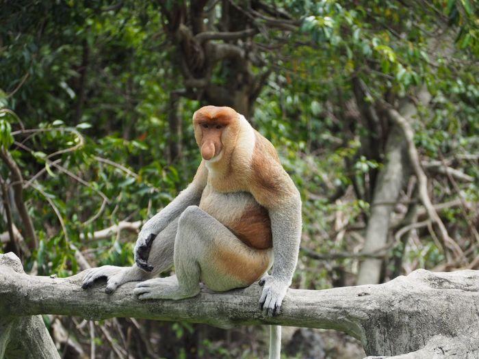 Proboscis Monkey Monkey Labuk Bay Sandakan Sabah Borneo Malaysia Animal Animal Planet Animal Wildlife One Animal Sitting Mammal