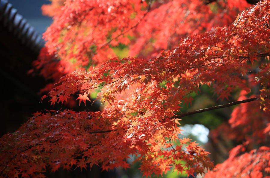 kyoto maple autumn fall Autumn Japan Japan Photography Red Autumn Autumn🍁🍁🍁 Beauty In Nature Change Close-up Fall Leaves Foliage Growth Journey Kyoto Leafage Low Angle View Maple Leaf Maple Tree Nature Orange Color Outdoors Tree Japanese Culture