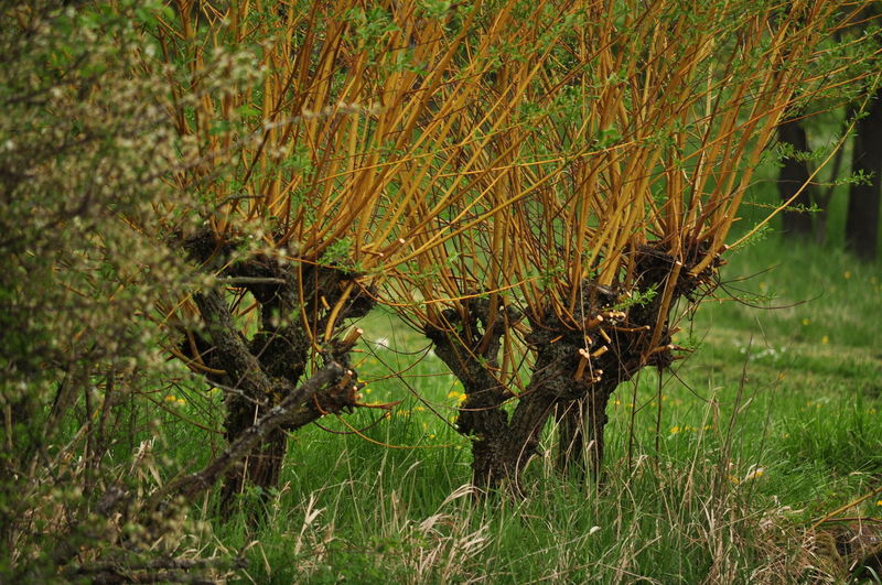 pollard wilows cut for viniculture Pollard Willow Cut Pollard Willow Growth Nature Traditional Pollard Willow Tree Viniculture Willow