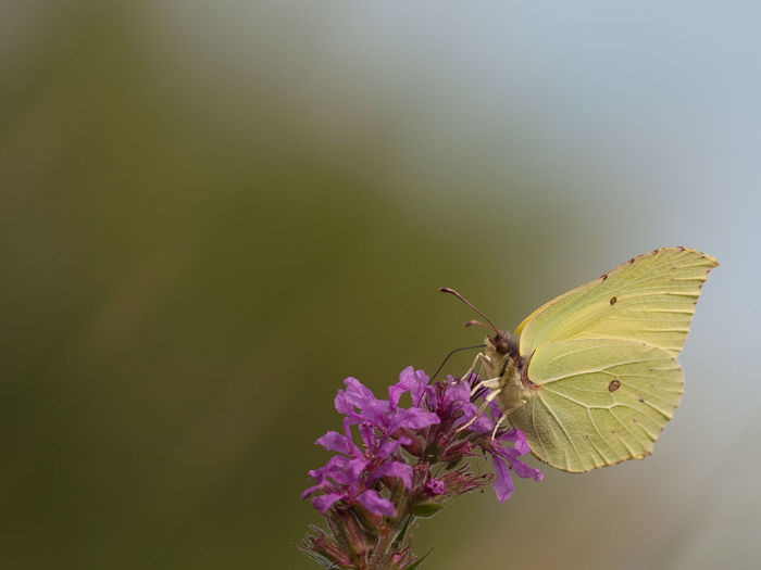 Animal Animal Themes Animal Wildlife Animal Wing Animals In The Wild Beauty In Nature Butterfly Butterfly - Insect Close-up Colour Of Life Day Flower Fragility Insect Lilac Macro Photography Nature No People One Animal Outdoors Plant Pollination Yellostone Yellow Butterfly Smooth Background