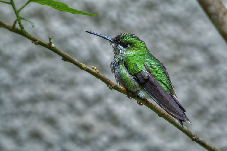 Green Violet-ear Monteverde Cloud Forest Reserve Animal Themes Animals In The Wild Animal Wildlife Animal Bird Vertebrate One Animal Perching Focus On Foreground Plant Branch Green Color Tree Day Close-up No People Nature Twig Hummingbird Outdoors Beak